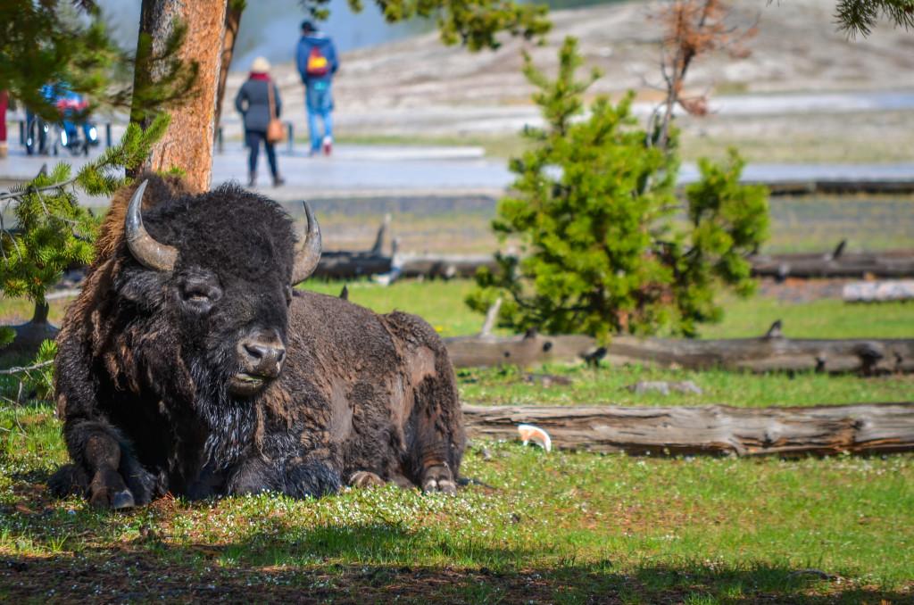 Yellowstone17
